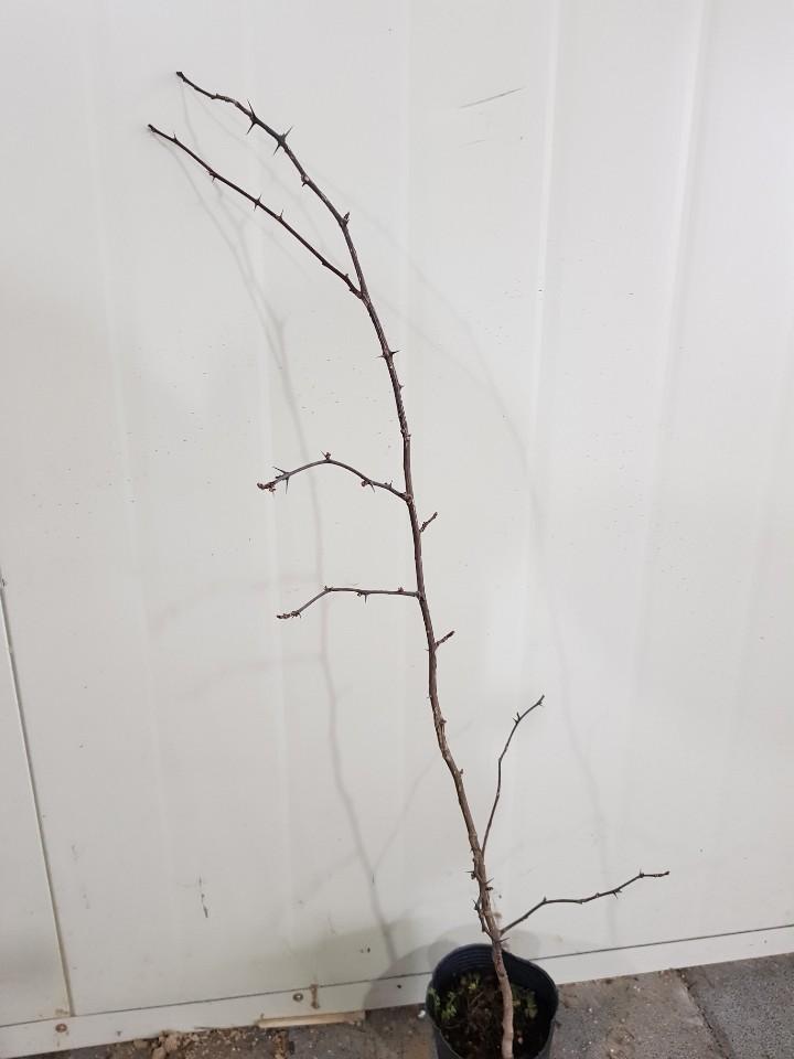 초피나무 2년포트