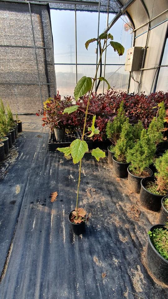 벌나무(산청목) 3년포트