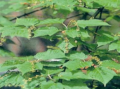 벌나무(산청목) / R3