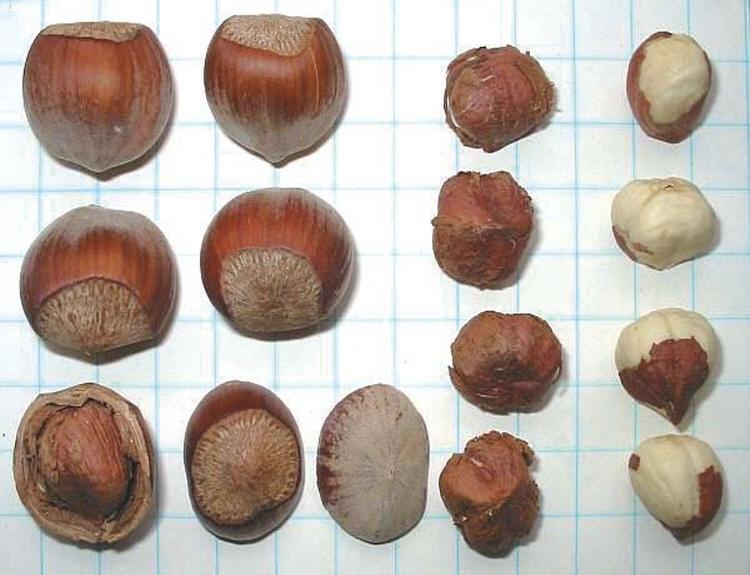 개암나무(헤이즐넛) 3년생포트