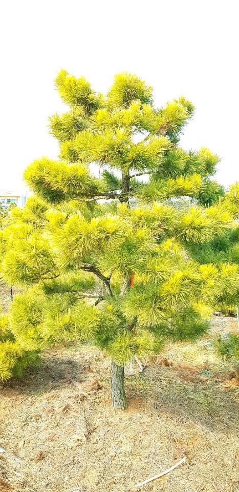 황금소나무 조형R8