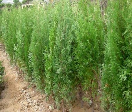측백나무 키1.5m