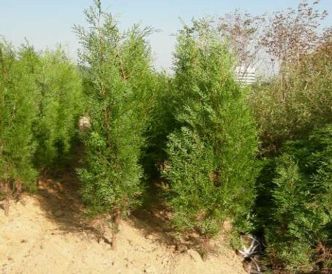 측백나무 키2.0m