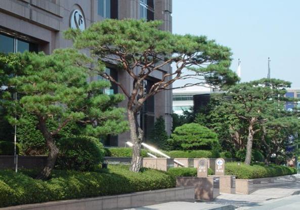 소나무(적송) 키1m