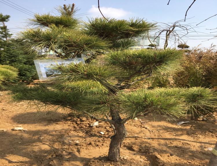 조형소나무 R8-10