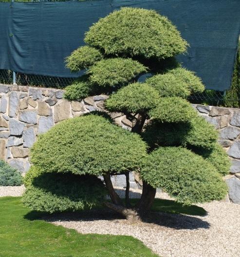 가이즈까향나무 2년생특묘