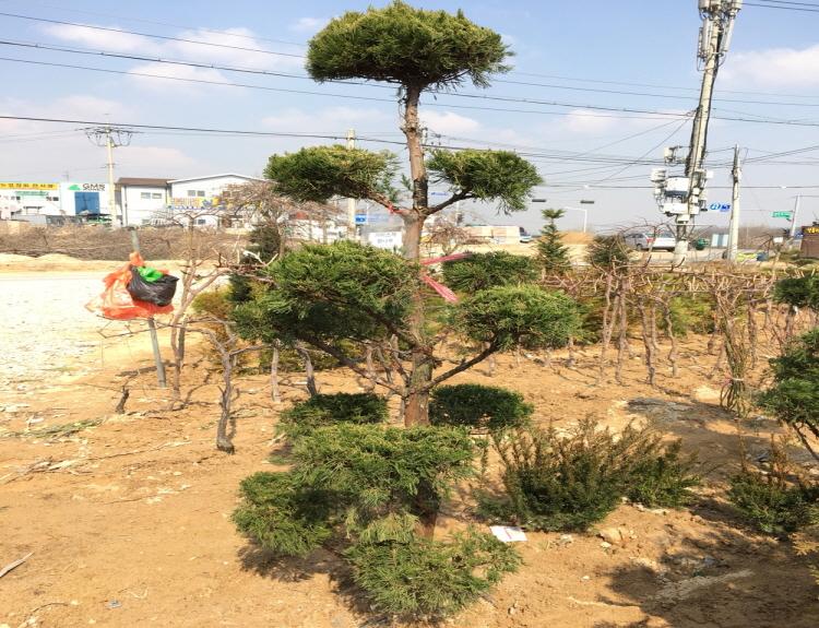 가이즈까향나무 2m