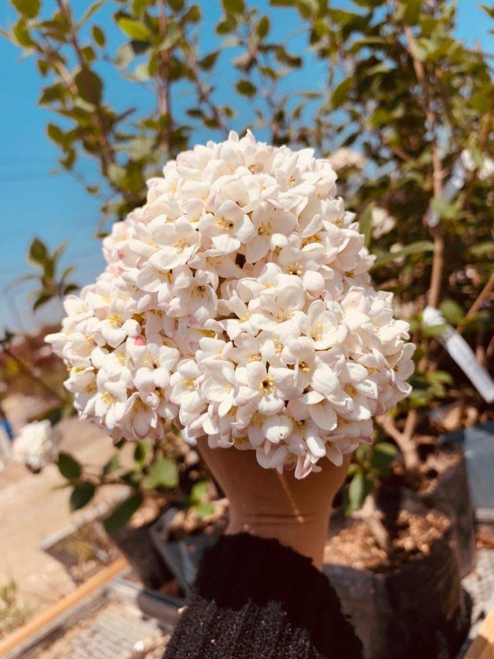 분꽃나무 (유럽종)