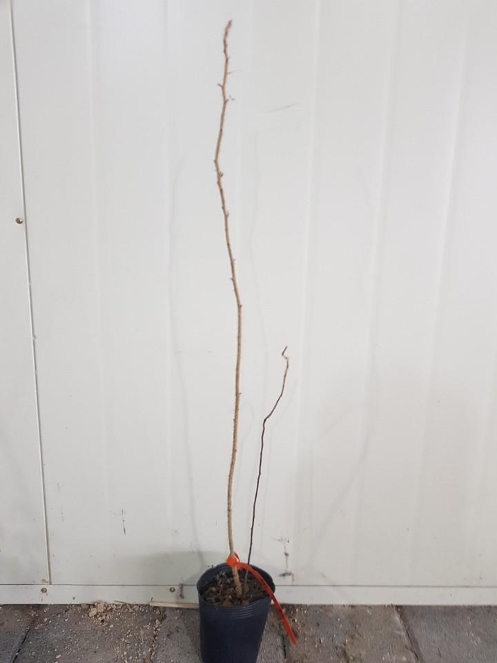 해당화 / 키5-60cm포트