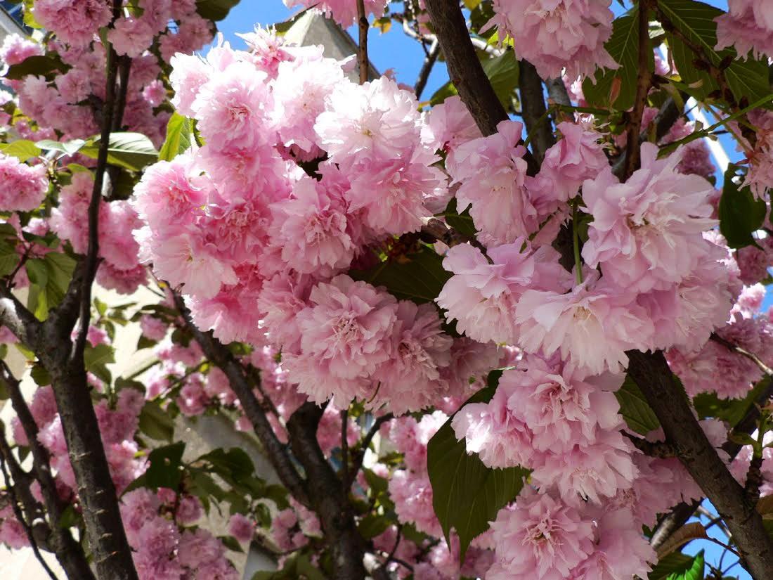 겹벚나무 / 접목1년