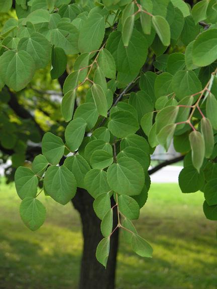 계수나무(실생3년)