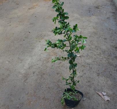 피라칸사스 / 키100cm포트