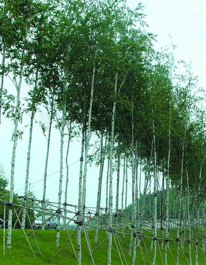 자작나무(R4)