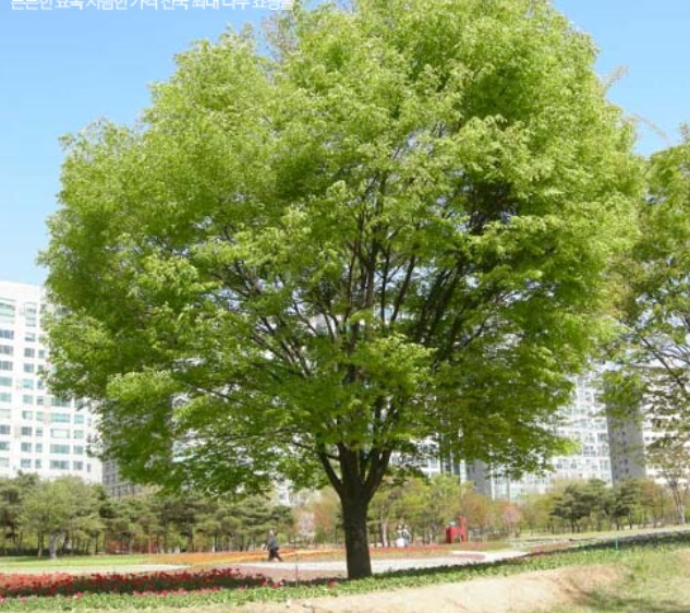 느티나무(R8)