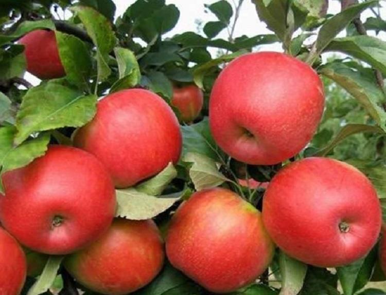 사과 부사 R5