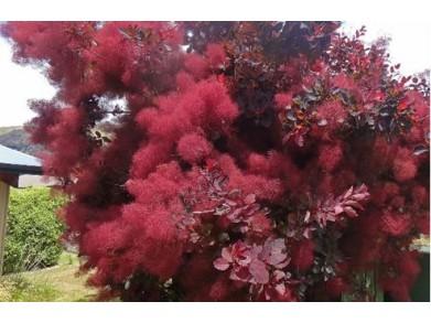 자엽안개나무 삽목3년