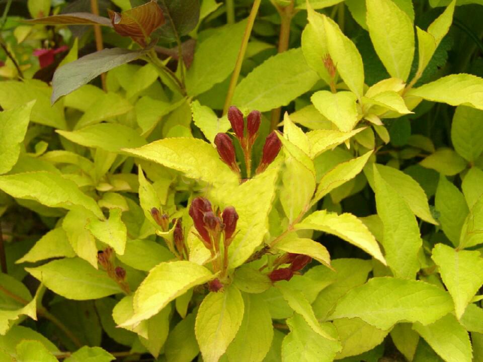 병꽃나무 노랑병꽃