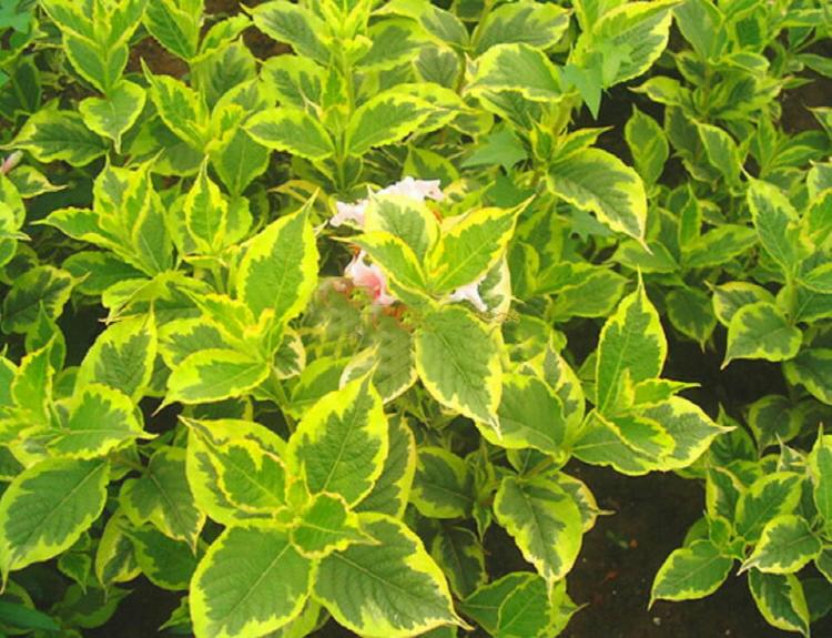 병꽃나무 무늬병꽃