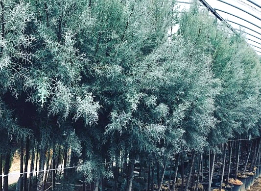 블루아이스 / 키3m화분(특수목)