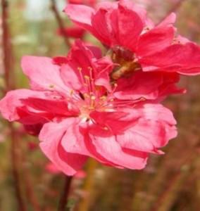 직립꽃복숭아 (적색)