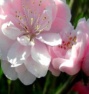 직립꽃복숭아(분홍)