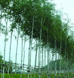 자작나무 2년특묘 포트묘