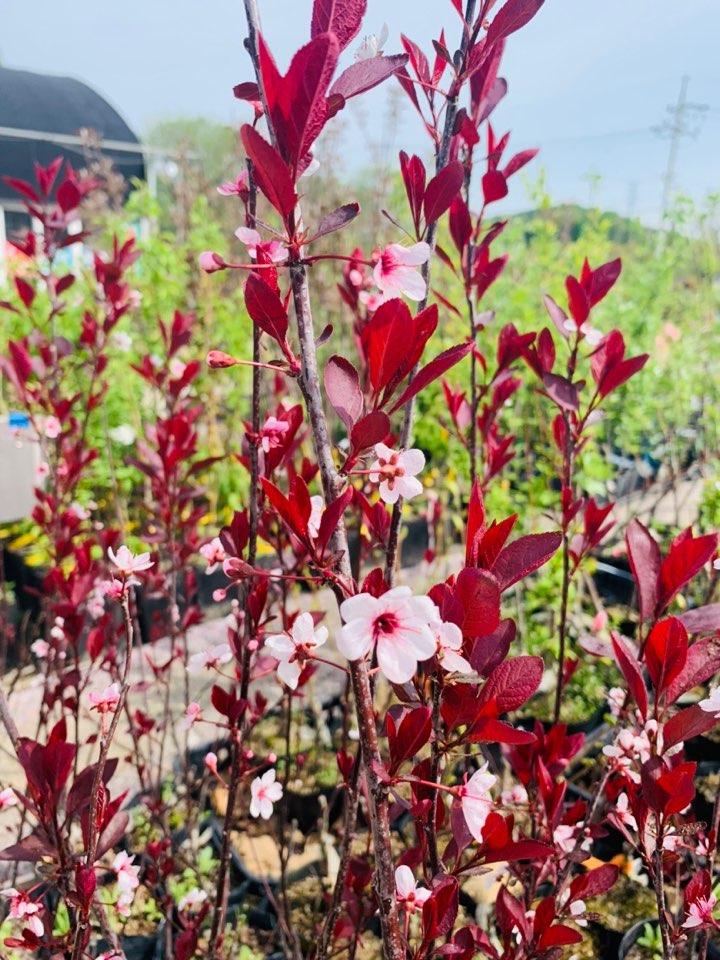 홍엽 꽃살구 접목1년포트(홍양앵)