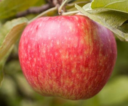 사과 허니크리스프  / m26자근묘 접목1년