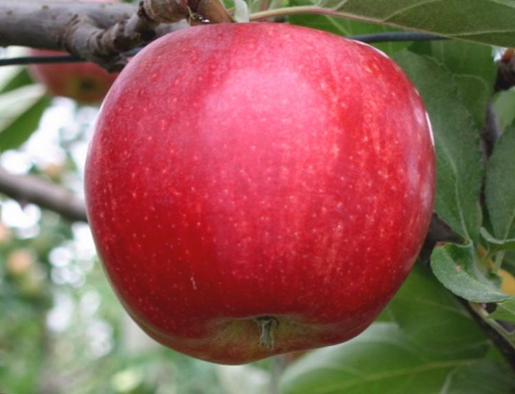 사과 중추왕 / m26자근묘 접목1년