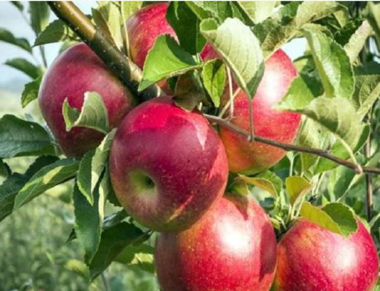 사과 홍로 / 접목1년