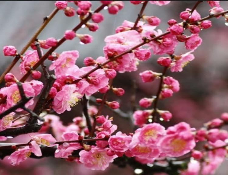 꽃살구 진핑크꽃살구 / 접목1년