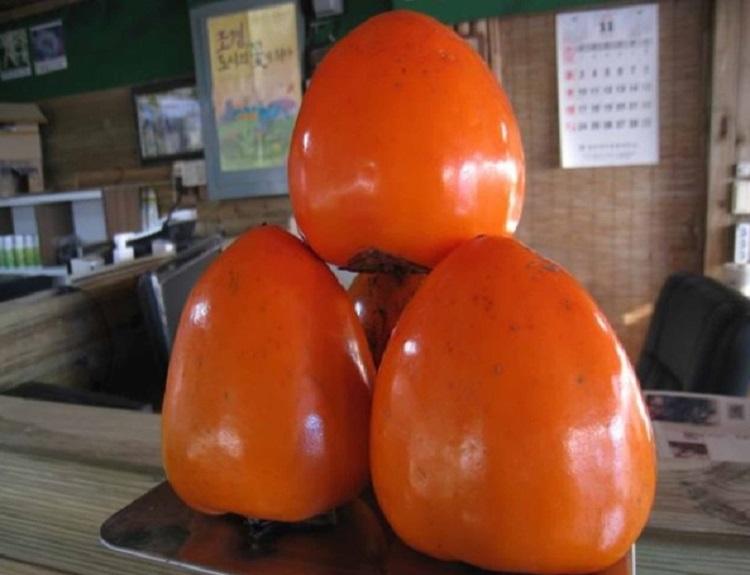 감나무 야오끼 / 접목1년특묘