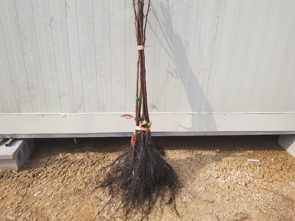 감나무 태추  / 접목1년