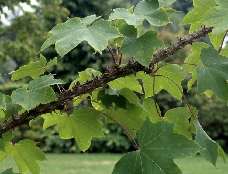 엄나무(음나무) 2년생상묘