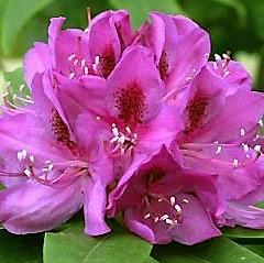 만병초 아나크루스케 화분