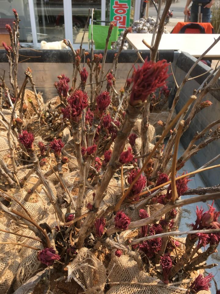 국산목단 빨강색