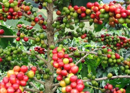 커피나무(아라비카) 1년포트묘
