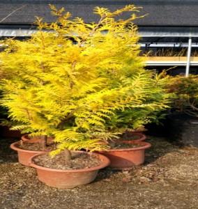 황금화백(황금편백)  / 키1.2m(분)
