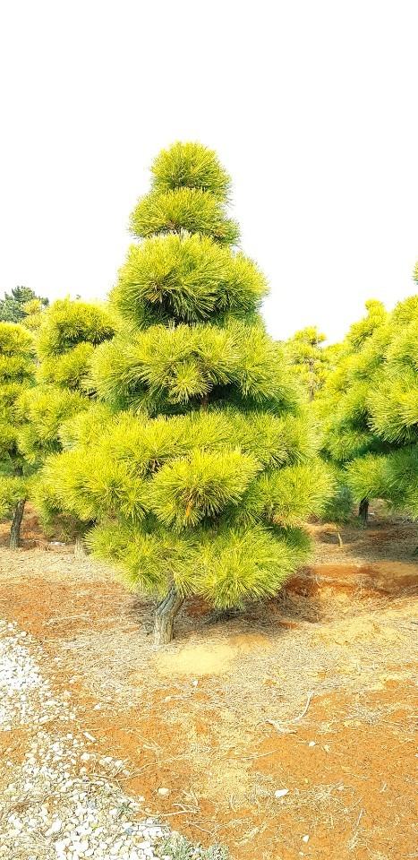 황금소나무 조형R10