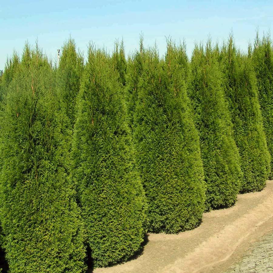 측백나무 키1.8m
