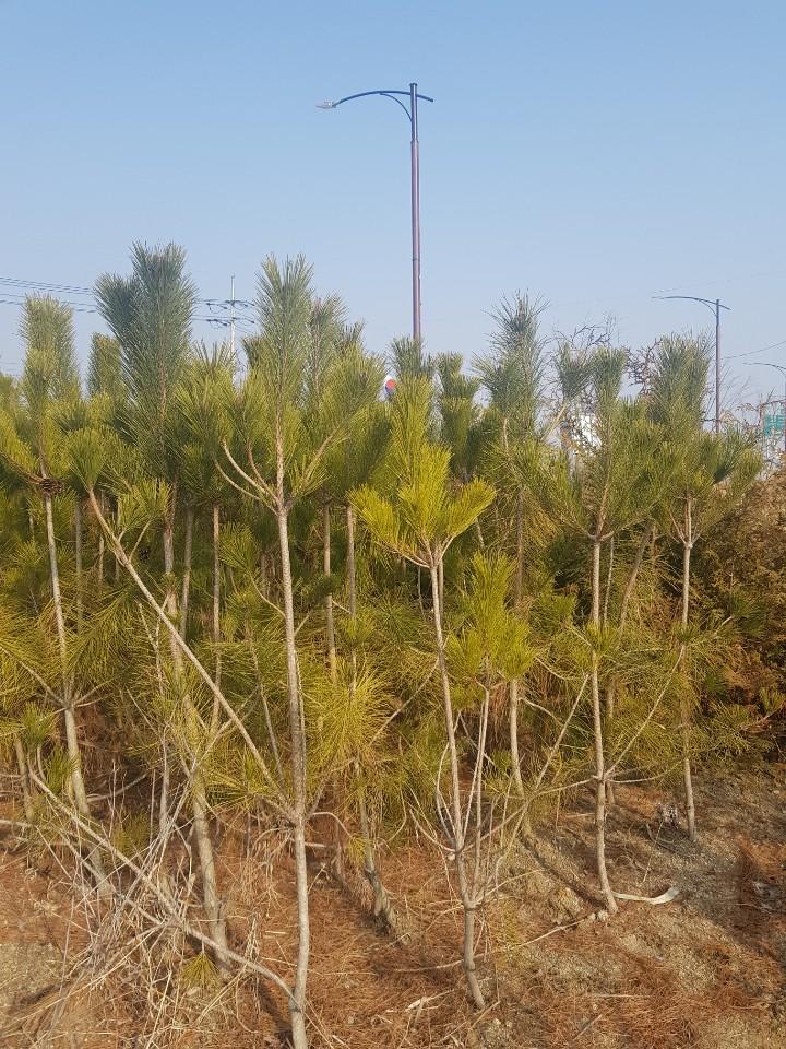 소나무(적송) 키1.5m