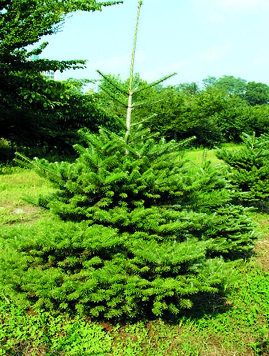 구상나무 키1.2m
