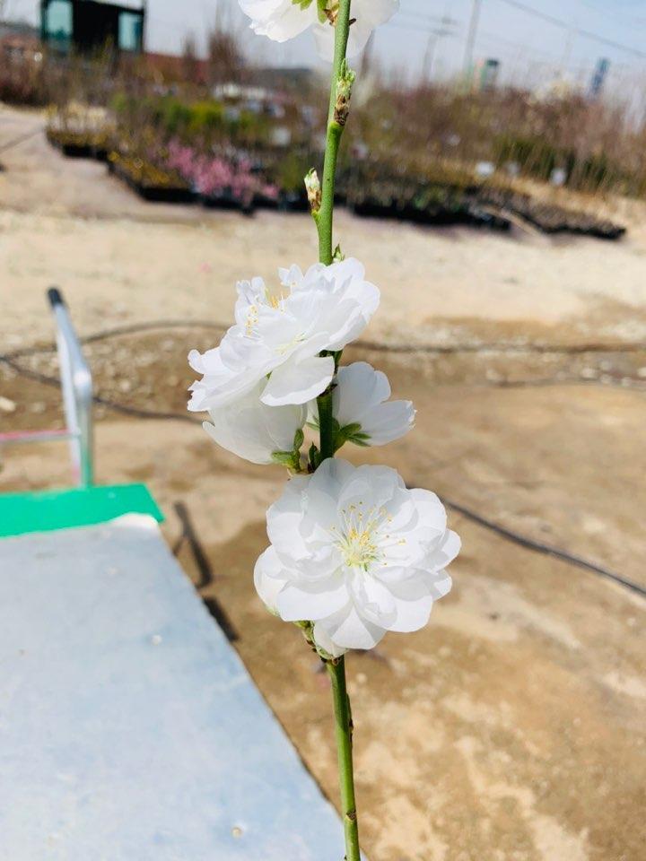 직립꽃복숭아(백색) / 접목1년