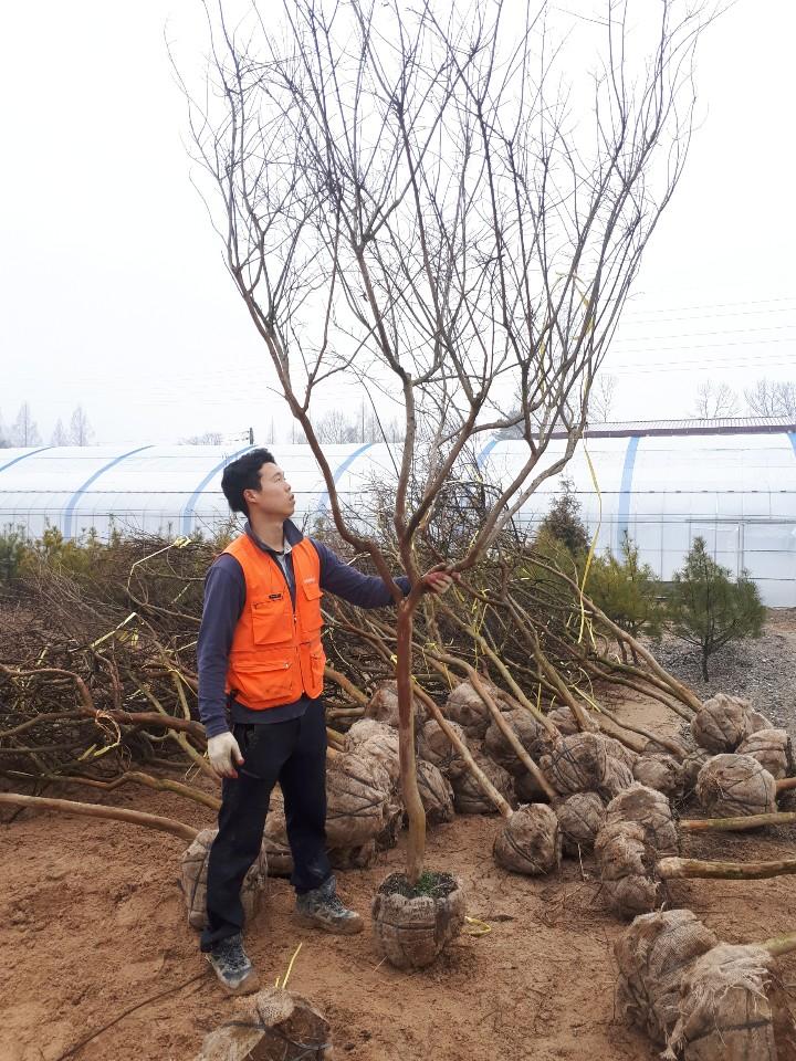 배롱나무 백일홍 / R8분(특A급)