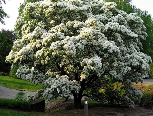 이팝나무(R4)