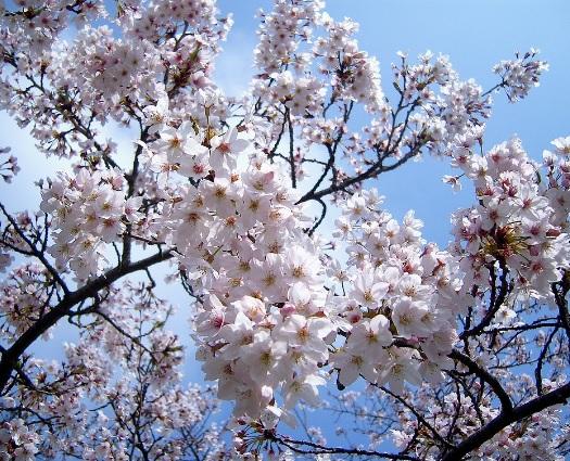 왕벚나무 / B6