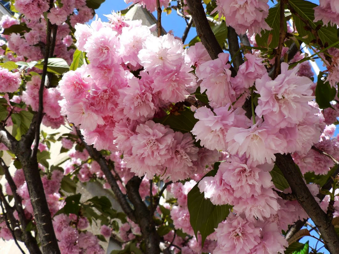 겹벚나무 / 접목1년특묘