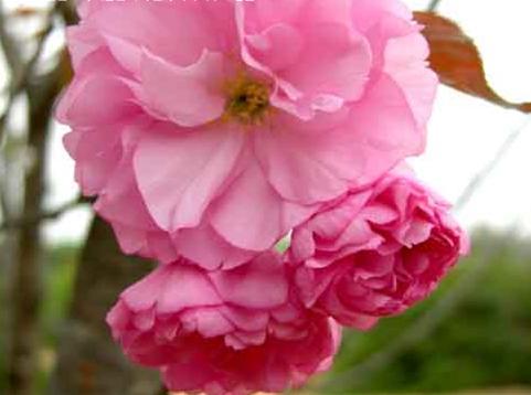 겹벚나무 / R3