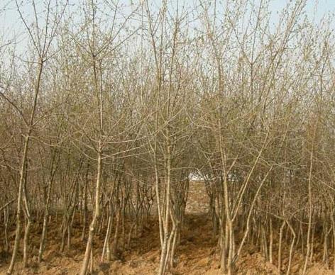 산사나무(R4)
