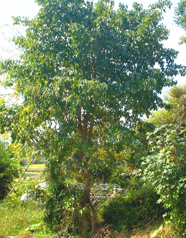 팽나무 (R8)